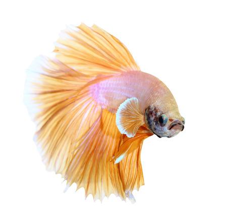 シャムの戦いの魚、白い背景で隔離のベタ 写真素材