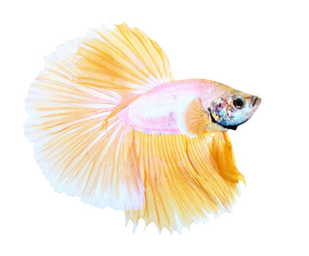 siamese fighting fish , betta isolated on white background Stock Photo - 25278133
