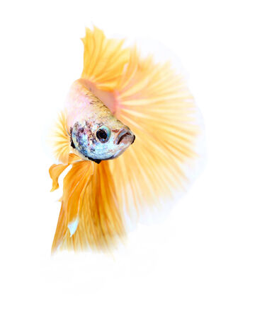 siamese fighting fish , betta isolated on white background photo