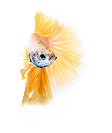siamese fighting fish , betta isolated on white background Stock Photo - 25278134