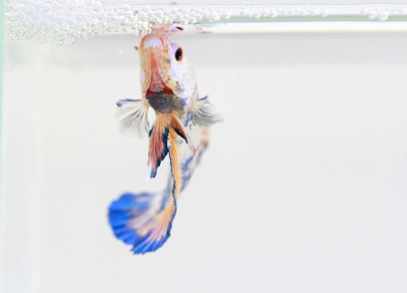 siamese fighting fish , betta isolated on white background Stock Photo - 25278164
