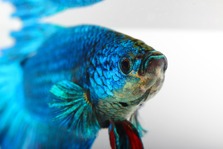 siamese fighting fish , betta isolated on white background Stock Photo - 25278234