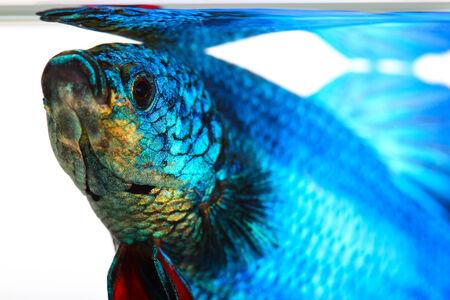 peces de acuario: peces luchadores siameses, betta aislado sobre fondo blanco