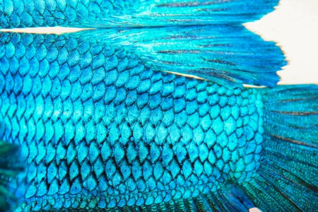 fish scale: Close-up on a fish skin - blue Siamese fighting fish Stock Photo