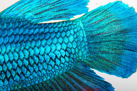 Close-up on a fish skin - blue Siamese fighting fish photo