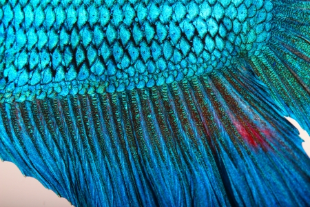 blue siamese: Close-up on a fish skin - blue Siamese fighting fish Stock Photo