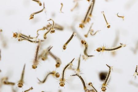 Mosquito's larva in water. Standard-Bild