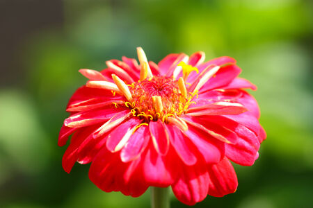 Zinnia flowers in the garden. photo