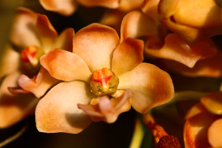 The hybrid species of Thai orchid Rhynchostylis gigantea or Orange Rhynchostylis blossom. photo