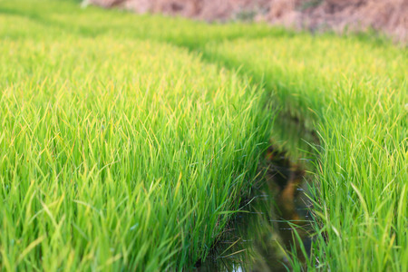 cusp: Rice Seedlings