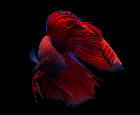 fish fire: siamese fighting fish isolated on black background. Stock Photo