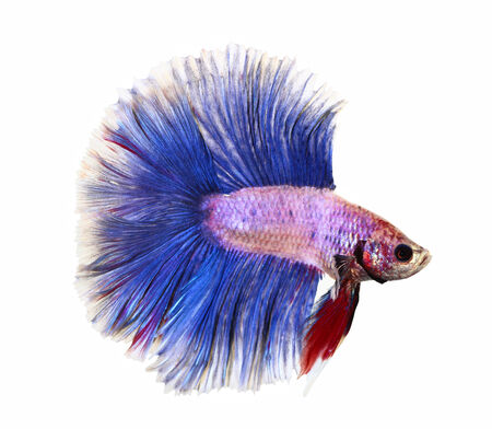 siamese fighting fish , betta isolated photo