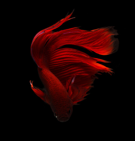 fighting fish: siamese fighting fish isolated on black background. Stock Photo