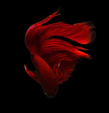 siamese fighting fish isolated on black background. photo