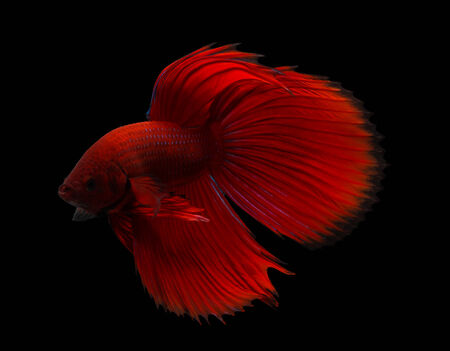 siamese fighting fish isolated on black background. Stock Photo - 26341336