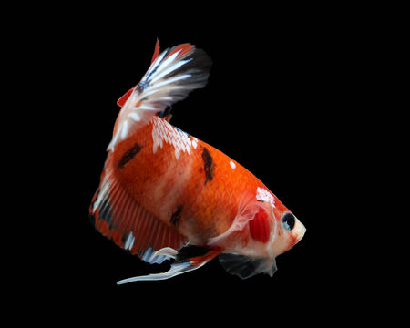 siamese fighting fish isolated on black background. photo