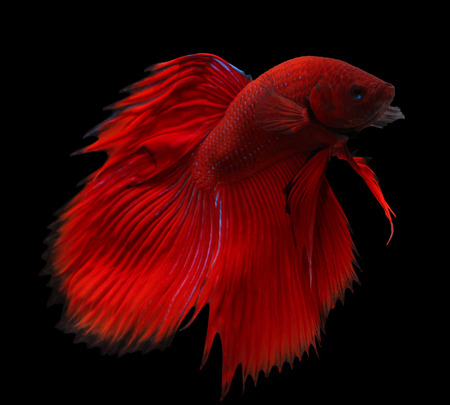 siamese fighting fish isolated on black background. Stock Photo - 26341347