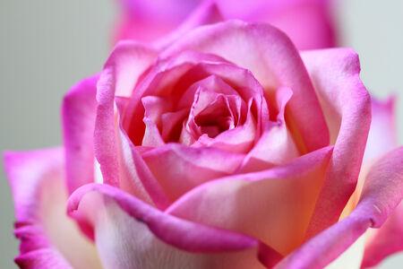 close up pink fresh rose photo