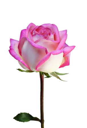 pink fresh rose isolated on a white background photo