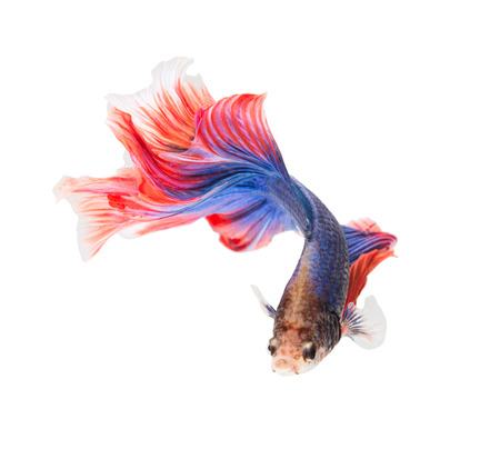 animal fight: siamese fighting fish , betta isolated on white background. Stock Photo