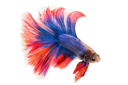 siamese fighting fish , betta isolated on white background. photo