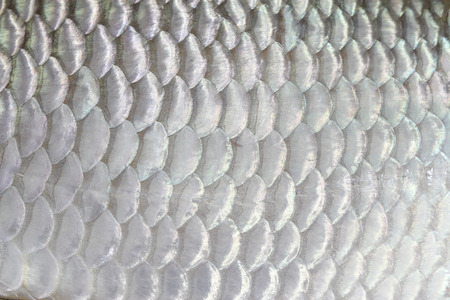 The fish scale close up. photo