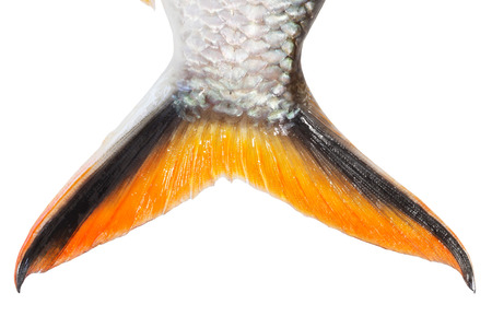 ca he: Tinfoil barb: Barbonymus schwanenfeldii Stock Photo