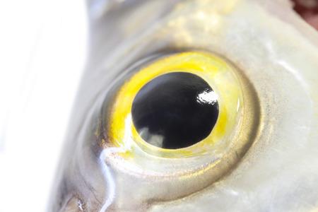 Fish eye (Tinfoil barb) close up. Stock Photo - 27604613