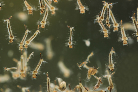 Mosquitos larva in water.