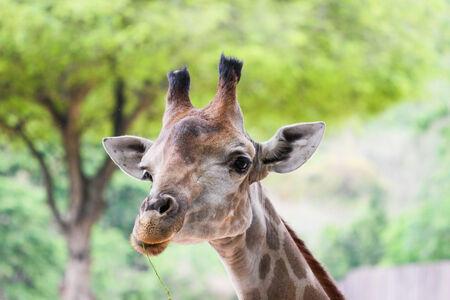 game reserve: Giraffe