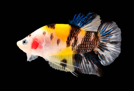 siamese fighting fish (koi style) isolated on black background. photo