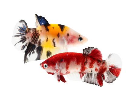 siamese fighting fish (koi style), betta isolated on white background. photo