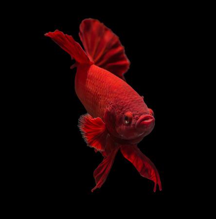 half moon tail: siamese fighting fish isolated on black background. Stock Photo