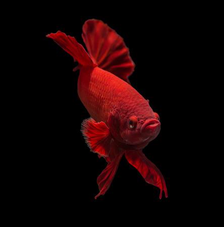 Siamesische Kampffische isoliert auf schwarzem Hintergrund. Standard-Bild - 28335914