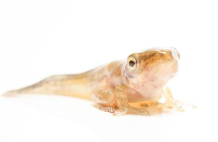 tadpole: Tadpole in white background.