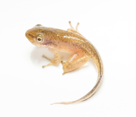 Tadpole in white background. photo