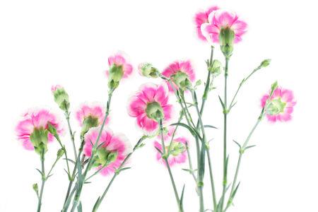 carnation flower isolated on white background photo