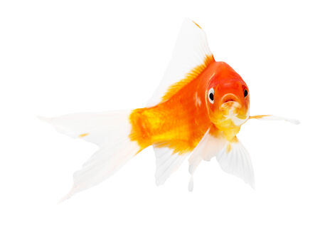 Koi Isolation on the white background photo