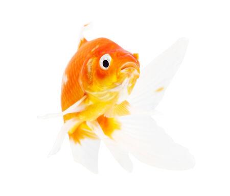 Koi Isolation on the white background photo