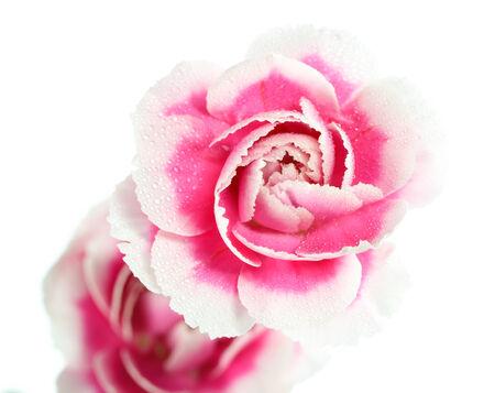 Carnations on white background photo