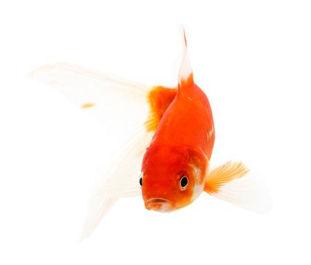 pez pecera: Aislamiento de Koi en el fondo blanco