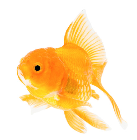 Gold fish. Isolation  on the white. photo