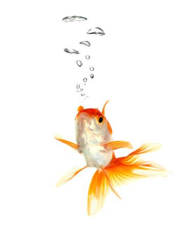 Gold fish. Isolation  on the white. photo