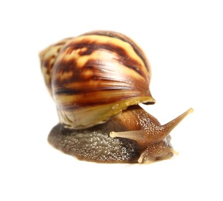 Snail isolated on white background. photo