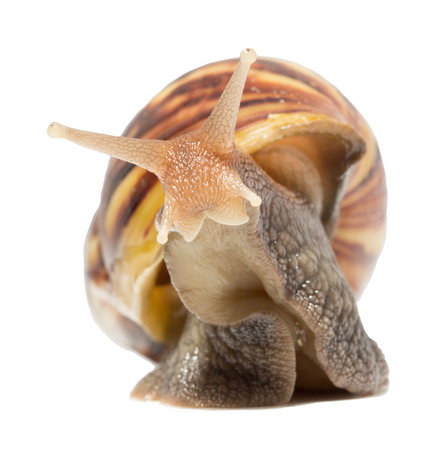 edible snail: Snail isolated on white background.