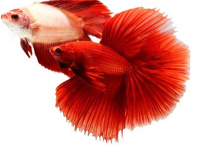 siamese fighting fish, betta isolated on white background. photo