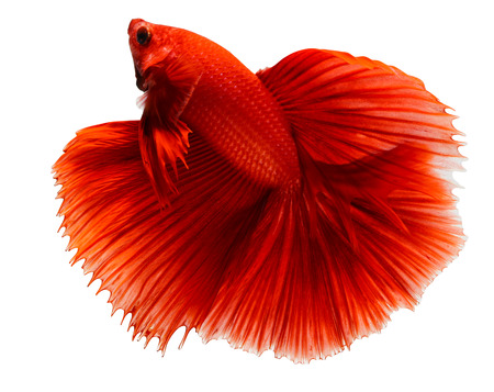 crown tail: siamese fighting fish, betta isolated on white background.