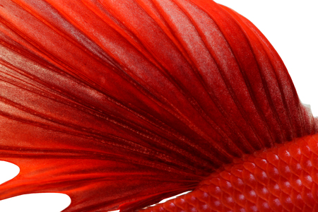 fire fin fighting: Texture of tail siamese fighting fish Stock Photo