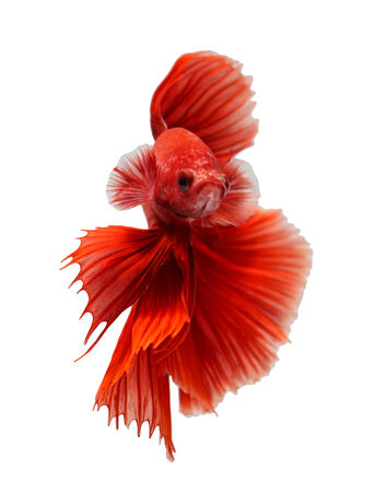 fire fin fighting: siamese fighting fish, betta isolated on white background.