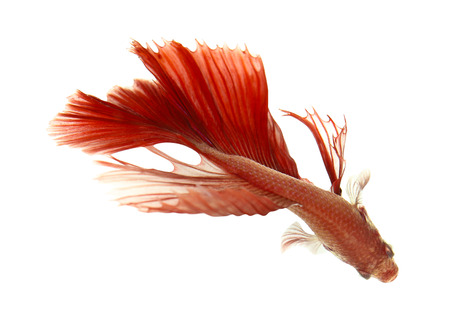 siamese fighting fish, betta isolated on white background. photo